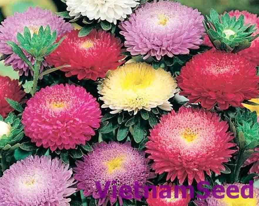 Hạt Giống Hoa Cúc Đài Loan Nhiều Màu