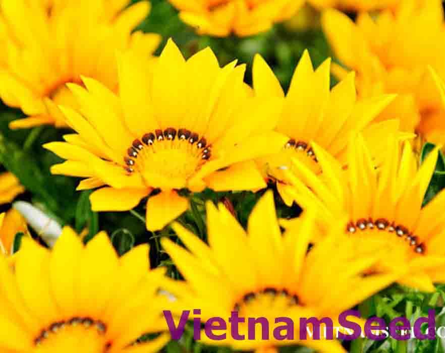 Hạt Giống Hoa Cúc Huân Chương Vàng