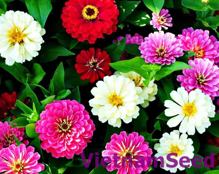 Hạt Giống Hoa Cúc Lá Nhám Thumb Nhiều Màu