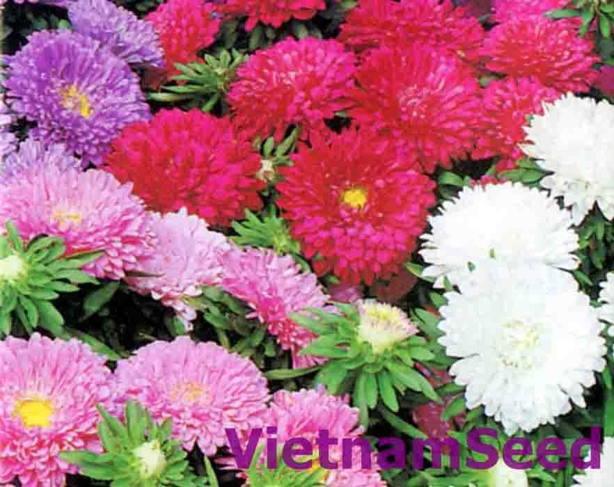 Hạt Giống Hoa Cúc Nhật Matsumoto Nhiều Màu