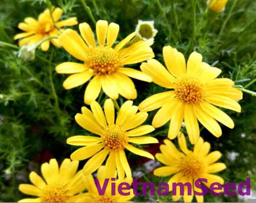 Hạt Giống Hoa Cúc Sao Băng Màu Vàng