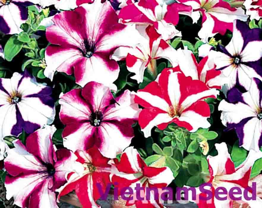 Hạt Giống Hoa Dạ Yến Thảo Sọc Nhiều Màu