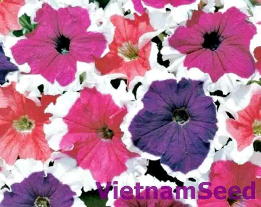 Hạt Giống Hoa Dạ Yến Thảo Viền Nhiều Màu