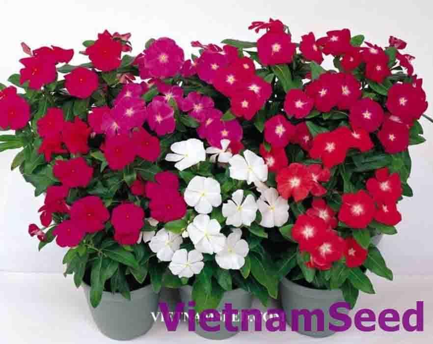 Hạt Giống Hoa Dừa Cạn Đứng Nhiều Màu