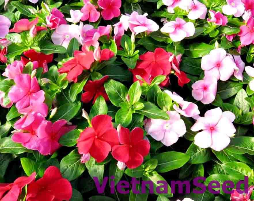 Hạt Giống Hoa Dừa Cạn Nhiều Màu