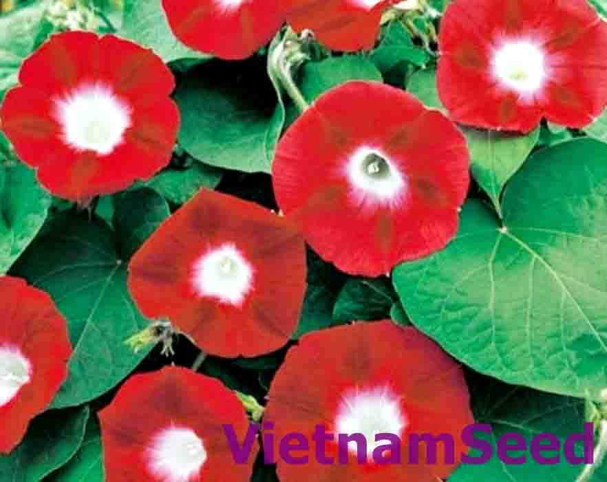 Hạt Giống Hoa Dây Leo Màu Đỏ