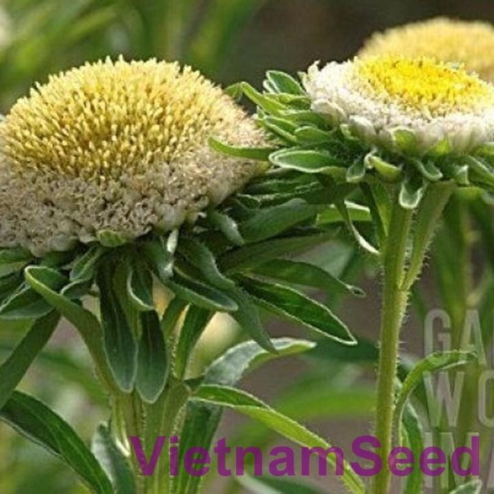 Hạt Giống Hoa Cúc Đài Loan Cao Màu Xanh