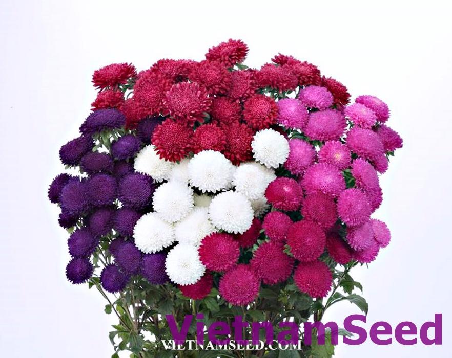 Hạt Giống Hoa Cúc nhật Bonita Nhiều màu