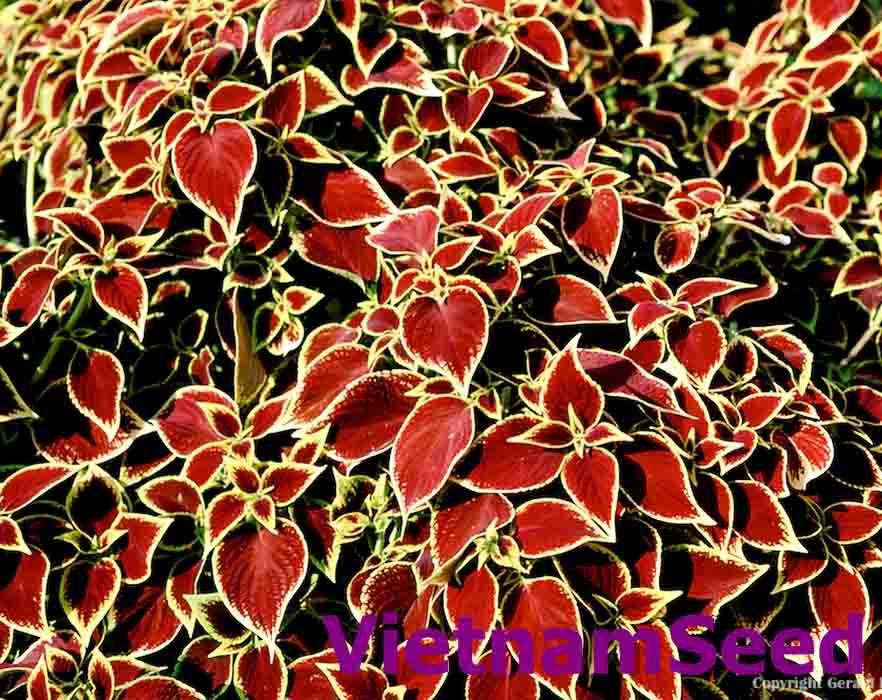 Hạt Giống Lá Kiểng Màu Đỏ Đậm