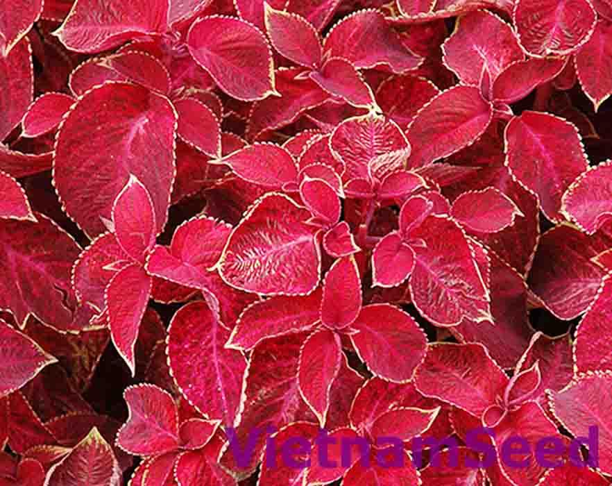 Hạt Giống Lá Kiểng Màu Đỏ Hồng