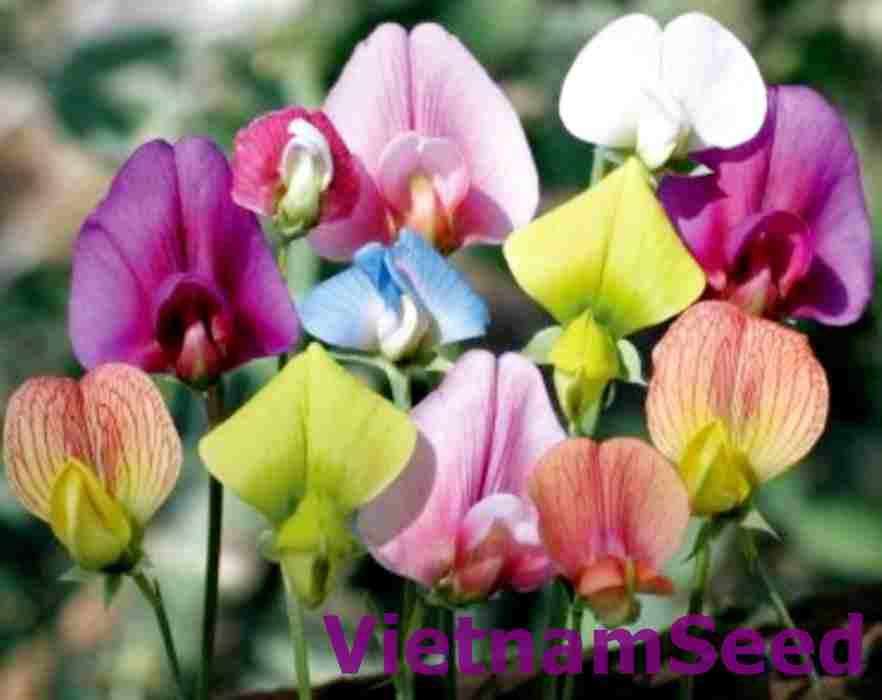 Hạt Giống Hoa Đậu Nhiều Màu
