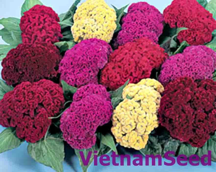 Hạt Giống Hoa Mào Gà Búa Nhiều Màu
