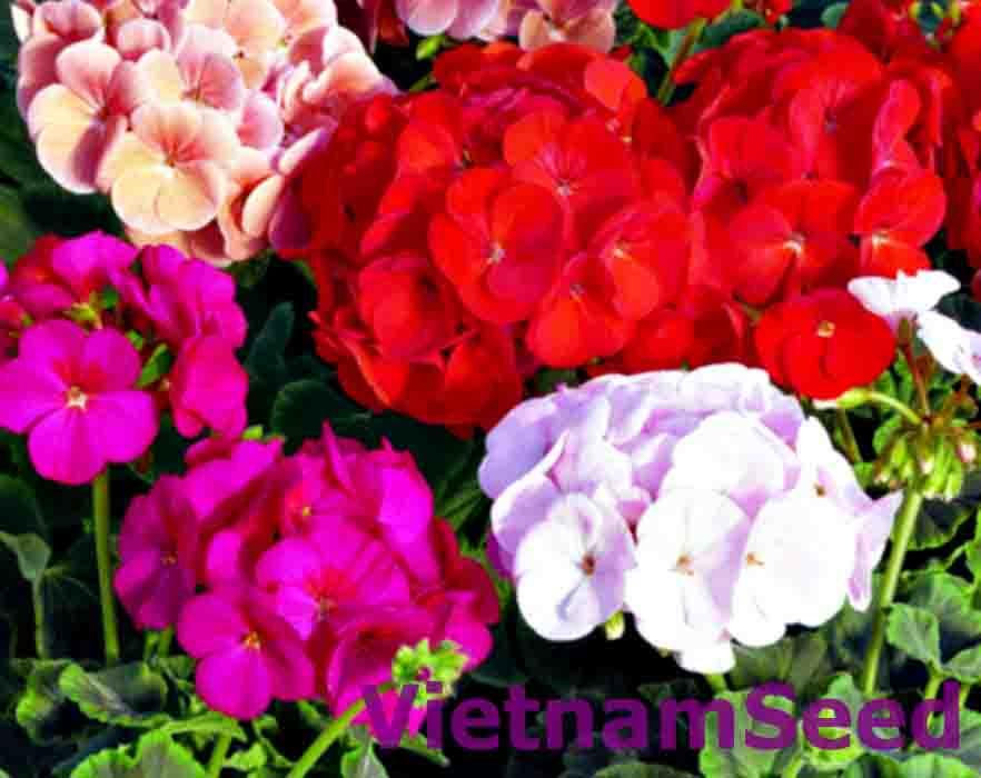 Hạt Giống Hoa Phong Lữ Thảo Nhiều Màu