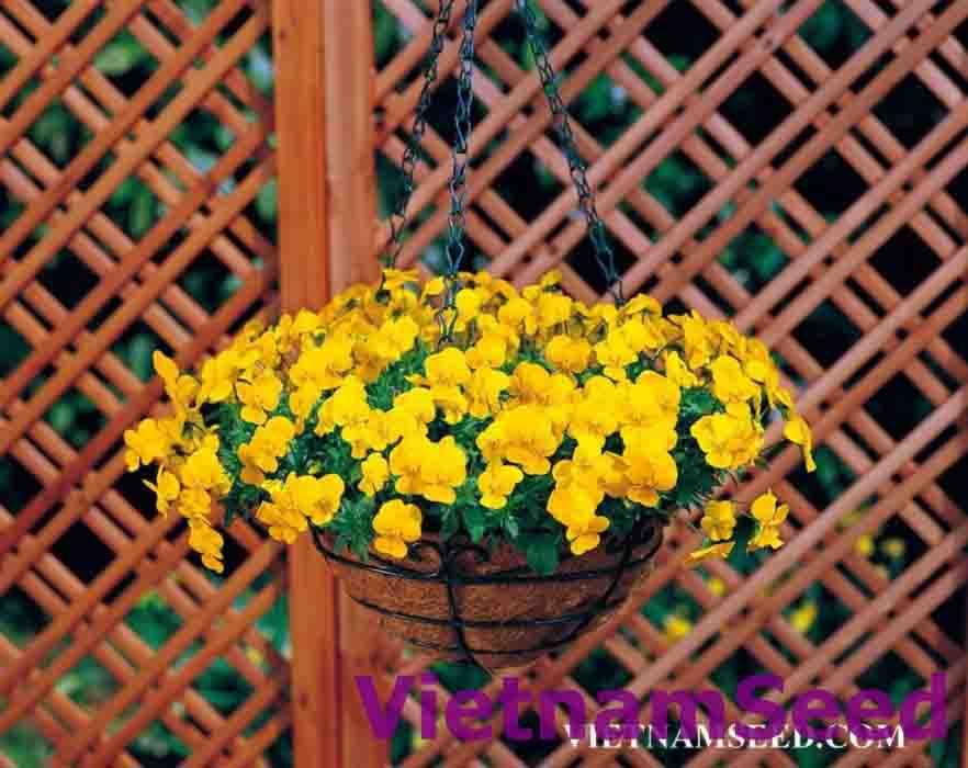 Hạt Giống Hoa Viola Màu Vàng