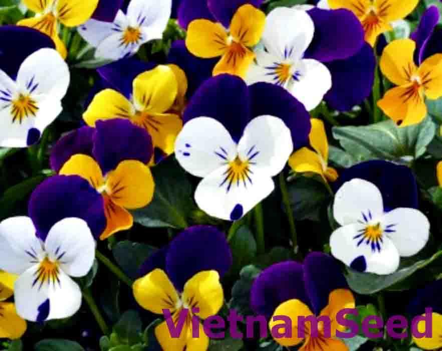 Hạt Giống Hoa Viola Nhiều Màu