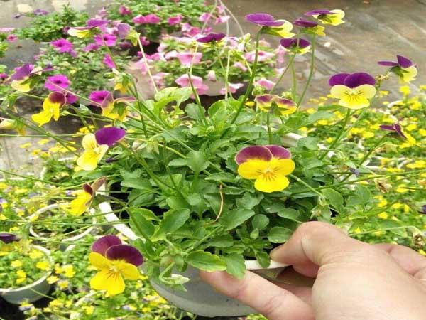 Chậu Hoa Viola
