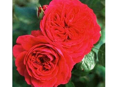 Red Leonardo Da Vinci Rose