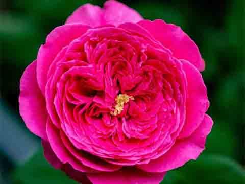 Pas De Deux rose