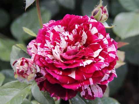 Julio Iglesias rose