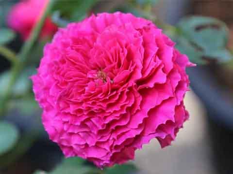 Ramukan Rose