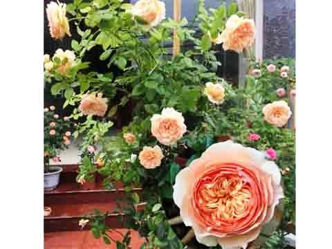 Masora rose