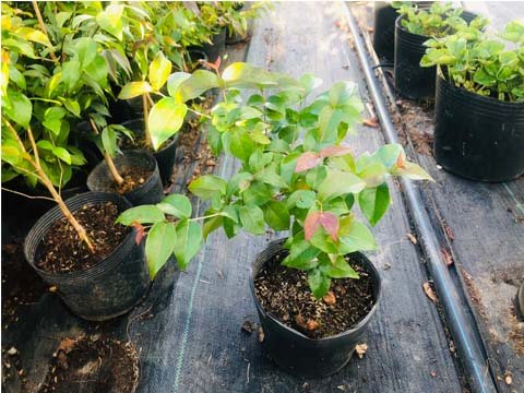 Giống Cây Cherry Mỹ & Brazil