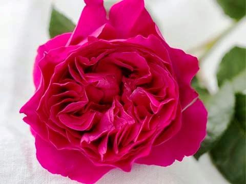 Hoa Hồng Ngoại Kate Rose