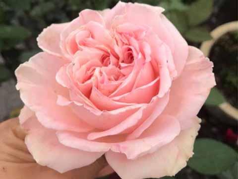 Hoa Hồng Nhật M - Nostalgic Romance rose