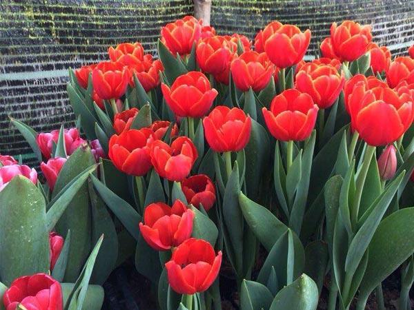 Hoa Tulip Cành