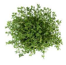 Tinh dầu cỏ xạ hương