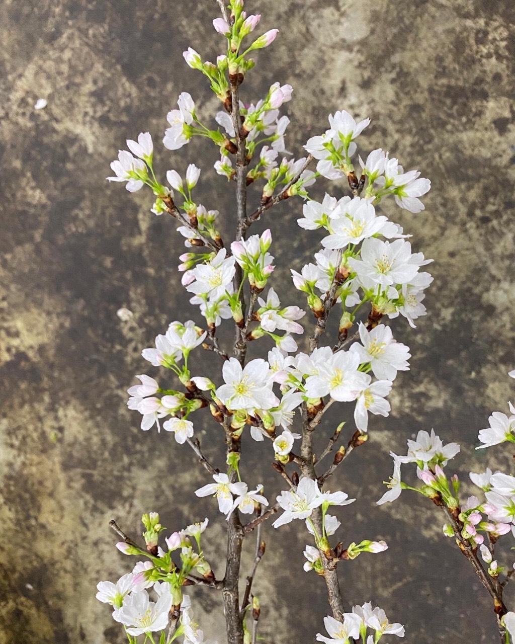 Đào Sakura 90cm