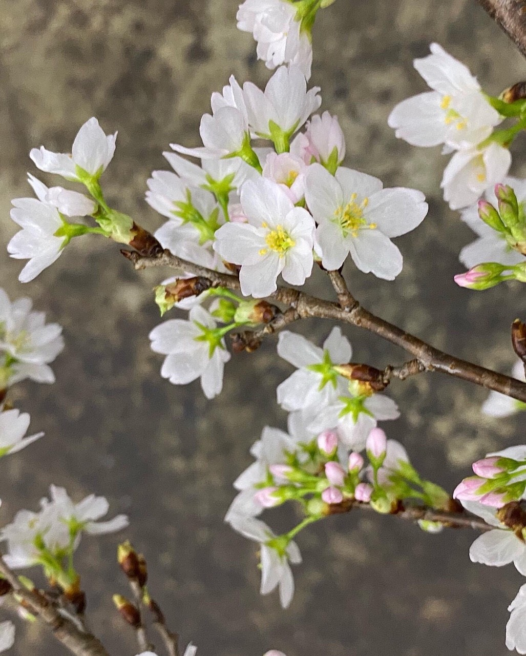 Đào Sakura 125cm