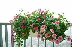 trồng hoa ngoài lan can