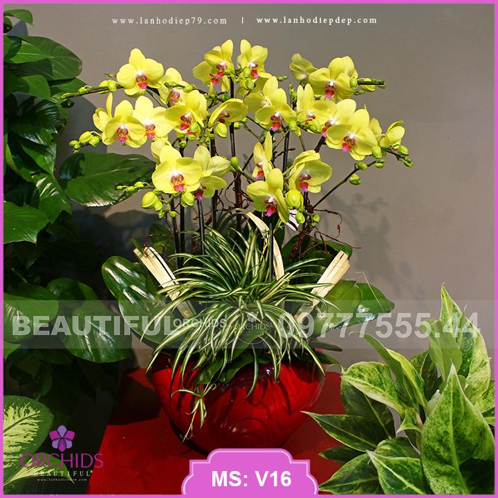 Chậu hoa lan Đẹp 10 cành hồ điệp vàng V16