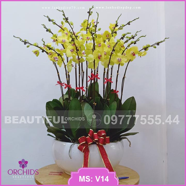Chậu hoa lan Vàng Đẹp 15 cành hồ điệp V14