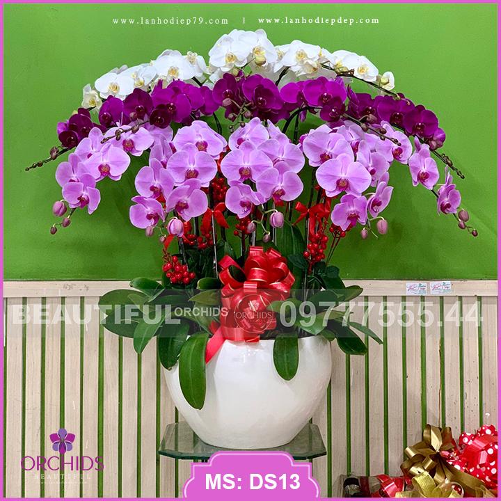 Chậu hoa lan hồ điệp đẹp 15 cành đa sắc DS13