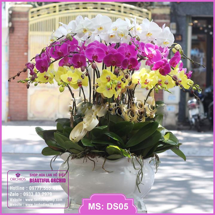 Chậu hoa lan hồ điệp đa sắc 30 cành DS05