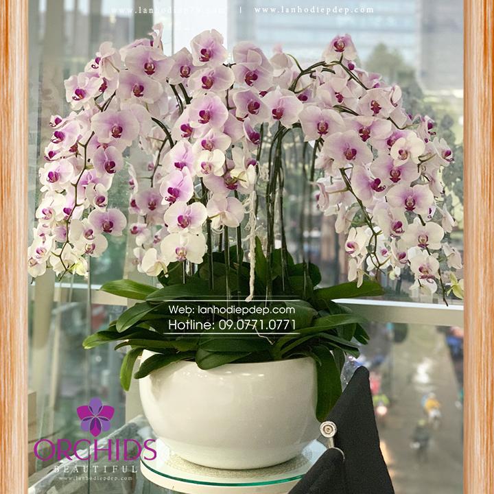 Chậu hoa lan hồ điệp hồng 30 cành H04