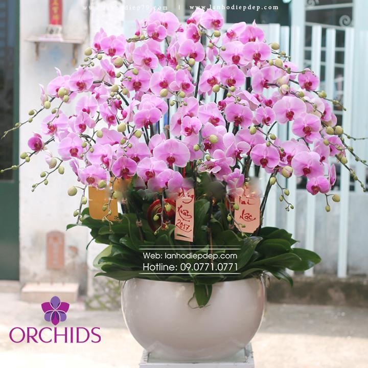 Chậu hoa lan hồ điệp hồng 35 cành H10