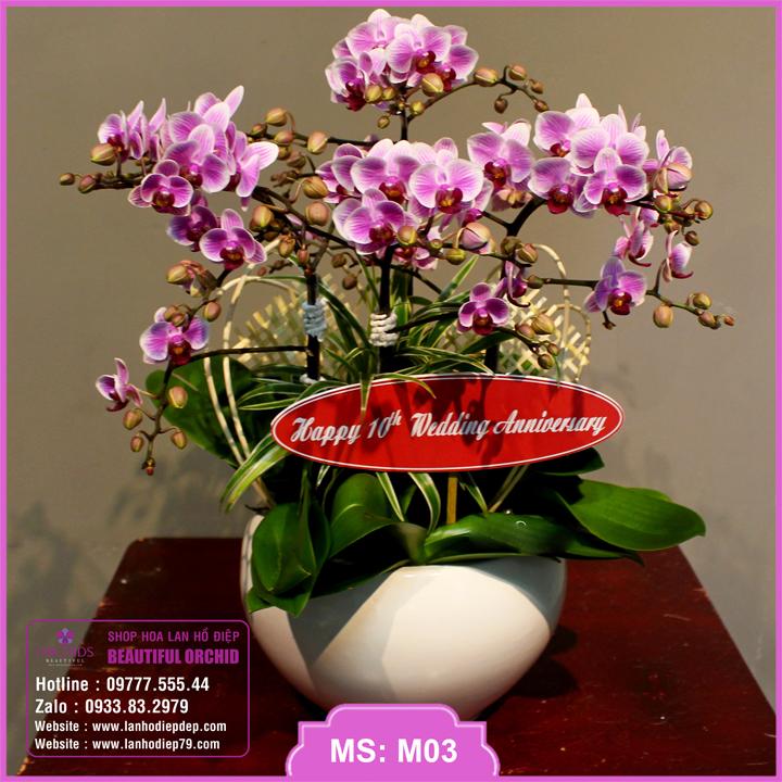 Chậu lan hồ điệp hoa mini hồng 6 cành M03