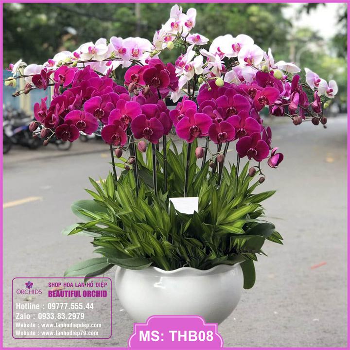 Chậu hoa lan hồ điệp tím hồng 15 cành THB08