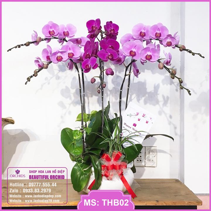 Chậu hoa lan hồ điệp tím hồng 6 cành THB02