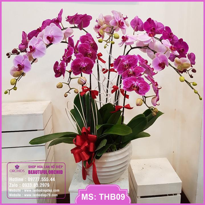 Chậu hoa lan hồ điệp tím hồng 7 cành THB09
