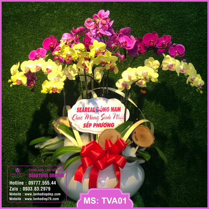 Chậu hoa lan hồ điệp tím vàng 10 cành TVA01