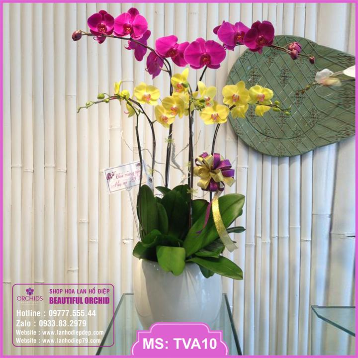 Chậu hoa lan hồ điệp tím vàng 5 cành TVA10