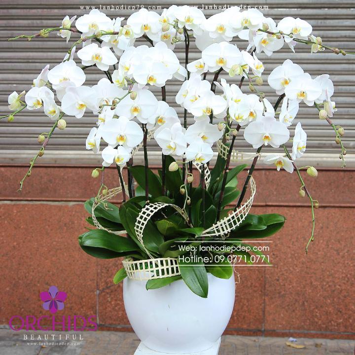 Chậu hoa lan hồ điệp trắng 12 cành TR08