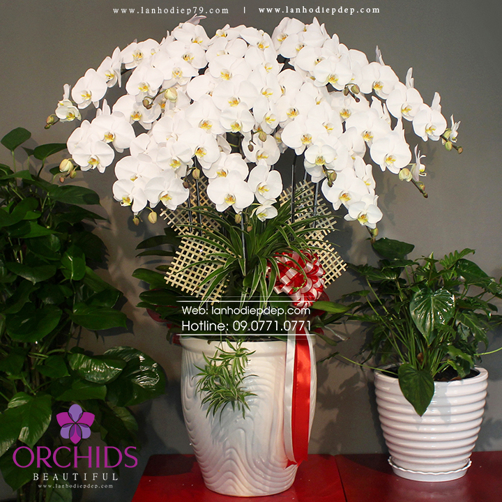 Chậu hoa lan hồ điệp trắng 15 cành TR06