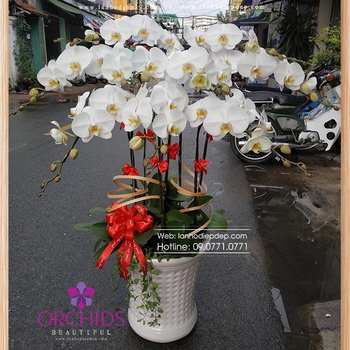 Chậu hoa lan hồ điệp trắng 5 cành TR05