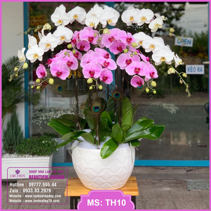 Chậu hoa lan hồ điệp trắng hồng 10 cành TH10