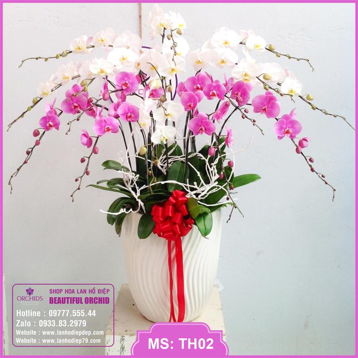 Chậu hoa lan hồ điệp trắng hồng 15 cành TH02